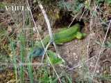 "<a href=""http://www.reptarium.cz/en/taxonomy/Lacerta-viridis/photogallery/1884"">Photo of <em>Lacerta viridis</em></a> by <a href=""http://www.reptarium.cz/en/profiles/137"">Vladimir Hula</a>"