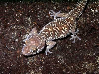 Paroedura Picta The Reptile Database
