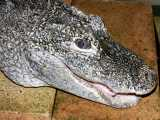 "<a href=""http://www.reptarium.cz/en/taxonomy/Alligator-sinensis/photogallery/3709"">Photo of <em>Alligator sinensis</em></a> by <a href=""http://www.reptarium.cz/en/profiles/199"">Miroslav Procházka</a>"