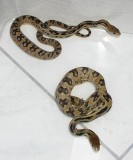 Pituophis lineaticollis