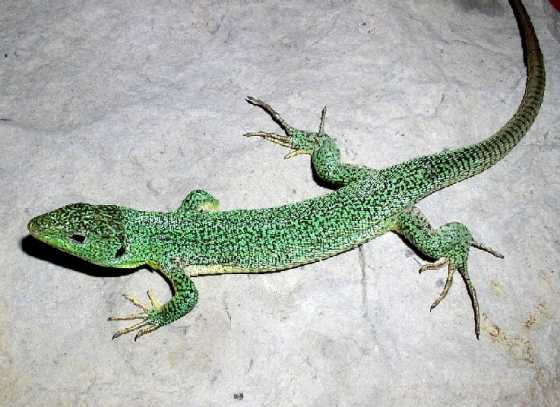 Lacerta trilineata major
