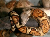 "<a href=""http://www.reptarium.cz/en/taxonomy/Boa-constrictor/photogallery/16522"">Photo of <em>Boa constrictor</em></a> by <a href=""http://www.reptarium.cz/en/profiles/1"">Jiří Hošek</a>"