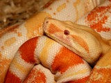 "<a href=""http://www.reptarium.cz/en/taxonomy/Boa-constrictor/photogallery/16532"">Photo of <em>Boa constrictor</em></a> by <a href=""http://www.reptarium.cz/en/profiles/1"">Jiří Hošek</a>"