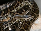 "<a href=""http://www.reptarium.cz/en/taxonomy/Python-bivittatus/photogallery/18387"">Photo of <em>Python bivittatus</em></a> by <a href=""http://www.reptarium.cz/en/profiles/1"">Jiří Hošek</a>"