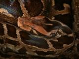 "<a href=""http://www.reptarium.cz/en/taxonomy/Python-molurus/photogallery/18380"">Photo of <em>Python molurus</em></a> by <a href=""http://www.reptarium.cz/en/profiles/1"">Jiří Hošek</a>"