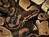 "<a href=""http://www.reptarium.cz/en/taxonomy/Python-regius/photogallery/18316"">Photo of <em>Python regius</em></a> by <a href=""http://www.reptarium.cz/en/profiles/1"">Jiří Hošek</a>"