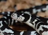 Lampropeltis getulus californiae white spoted