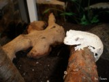 Crested gecko 6