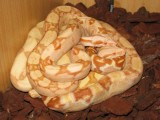 Boa Sharp sunglow, Sharp super-sunglow. Sharp albino arabesque