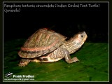 Indian Circled Tent Turtle