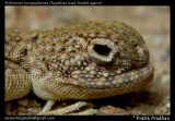 Rajasthan toad-headed agama