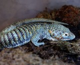 "<a href=""http://www.reptarium.cz/en/taxonomy/Abronia-aurita/photogallery/32428"">Photo of <em>Abronia aurita</em></a> by <a href=""http://www.reptarium.cz/en/profiles/14"">Pavel Šmek</a>"