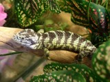 "<a href=""http://www.reptarium.cz/en/taxonomy/Abronia-taeniata/photogallery/32433"">Photo of <em>Abronia taeniata</em></a> by <a href=""http://www.reptarium.cz/en/profiles/14"">Pavel Šmek</a>"