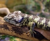 "<a href=""http://www.reptarium.cz/en/taxonomy/Abronia-taeniata/photogallery/32434"">Photo of <em>Abronia taeniata</em></a> by <a href=""http://www.reptarium.cz/en/profiles/14"">Pavel Šmek</a>"
