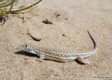 "<a href=""http://www.reptarium.cz/en/taxonomy/Acanthodactylus-grandis/photogallery/33172"">Photo of <em>Acanthodactylus grandis</em></a> by <a href=""http://www.reptarium.cz/en/profiles/6579"">Omid Mozaffari</a>"