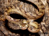 "<a href=""http://www.reptarium.cz/en/taxonomy/Boiga-ceylonensis/photogallery/26795"">Photo of <em>Boiga ceylonensis</em></a> by <a href=""http://www.reptarium.cz/en/profiles/5163"">Ankit Vyas</a>"