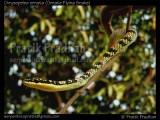 "<a href=""http://www.reptarium.cz/en/taxonomy/Chrysopelea-ornata/photogallery/32485"">Photo of <em>Chrysopelea ornata</em></a> by <a href=""http://www.reptarium.cz/en/profiles/5044"">Pratik Pradhan</a>"