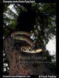 "<a href=""http://www.reptarium.cz/en/taxonomy/Chrysopelea-ornata/photogallery/32486"">Photo of <em>Chrysopelea ornata</em></a> by <a href=""http://www.reptarium.cz/en/profiles/5044"">Pratik Pradhan</a>"