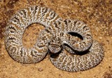 "<a href=""http://www.reptarium.cz/en/taxonomy/Crotalus-durissus/photogallery/22489"">Photo of <em>Crotalus durissus</em></a> by <a href=""http://www.reptarium.cz/en/profiles/3200"">Jan Detka</a>"