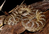 "<a href=""http://www.reptarium.cz/en/taxonomy/Crotalus-viridis/photogallery/26846"">Photo of <em>Crotalus viridis</em></a> by <a href=""http://www.reptarium.cz/en/profiles/3200"">Jan Detka</a>"
