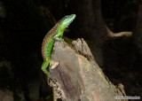 "<a href=""http://www.reptarium.cz/en/taxonomy/Darevskia-chlorogaster/photogallery/33626"">Photo of <em>Darevskia chlorogaster</em></a> by <a href=""http://www.reptarium.cz/en/profiles/6579"">Omid Mozaffari</a>"