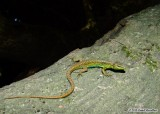 "<a href=""http://www.reptarium.cz/en/taxonomy/Darevskia-chlorogaster/photogallery/33627"">Photo of <em>Darevskia chlorogaster</em></a> by <a href=""http://www.reptarium.cz/en/profiles/6579"">Omid Mozaffari</a>"