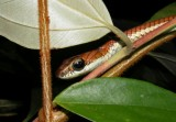 "<a href=""http://www.reptarium.cz/en/taxonomy/Dendrelaphis-caudolineatus/photogallery/32401"">Photo of <em>Dendrelaphis caudolineatus</em></a> by <a href=""http://www.reptarium.cz/en/profiles/3200"">Jan Detka</a>"