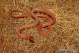"<a href=""http://www.reptarium.cz/en/taxonomy/Dolichophis-schmidti/photogallery/33665"">Photo of <em>Dolichophis schmidti</em></a> by <a href=""http://www.reptarium.cz/en/profiles/6832"">Kamran Kamali</a>"