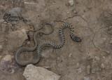 "<a href=""http://www.reptarium.cz/en/taxonomy/Eirenis-punctatolineatus/photogallery/32831"">Photo of <em>Eirenis punctatolineatus</em></a> by <a href=""http://www.reptarium.cz/en/profiles/6421"">Barbod Safaei Mahroo</a>"