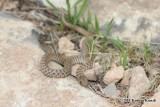 "<a href=""http://www.reptarium.cz/en/taxonomy/Eirenis-punctatolineatus/photogallery/33672"">Photo of <em>Eirenis punctatolineatus</em></a> by <a href=""http://www.reptarium.cz/en/profiles/6832"">Kamran Kamali</a>"