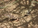 "<a href=""http://www.reptarium.cz/en/taxonomy/Eremias-kavirensis/photogallery/32784"">Photo of <em>Eremias kavirensis</em></a> by <a href=""http://www.reptarium.cz/en/profiles/6421"">Barbod Safaei Mahroo</a>"