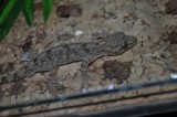 "<a href=""http://www.reptarium.cz/en/taxonomy/Gekko-hokouensis/photogallery/25415"">Photo of <em>Gekko hokouensis</em></a> by <a href=""http://www.reptarium.cz/en/profiles/2008"">Zdeněk Jaborník</a>"