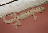 "<a href=""http://www.reptarium.cz/en/taxonomy/Gekko-monarchus/photogallery/33598"">Photo of <em>Gekko monarchus</em></a> by <a href=""http://www.reptarium.cz/en/profiles/3200"">Jan Detka</a>"