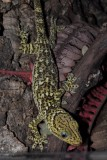 "<a href=""http://www.reptarium.cz/en/taxonomy/Gekko-smithii/photogallery/25416"">Photo of <em>Gekko smithii</em></a> by <a href=""http://www.reptarium.cz/en/profiles/2008"">Zdeněk Jaborník</a>"