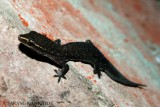 "<a href=""http://www.reptarium.cz/en/taxonomy/Hemidactylus-gracilis/photogallery/25949"">Photo of <em>Hemidactylus gracilis</em></a> by <a href=""http://www.reptarium.cz/en/profiles/3511"">sarang utkhede</a>"