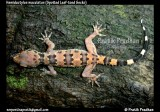 "<a href=""http://www.reptarium.cz/en/taxonomy/Hemidactylus-maculatus/photogallery/32495"">Photo of <em>Hemidactylus maculatus</em></a> by <a href=""http://www.reptarium.cz/en/profiles/5044"">Pratik Pradhan</a>"