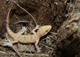 "<a href=""http://www.reptarium.cz/en/taxonomy/Hemidactylus-persicus/photogallery/32968"">Photo of <em>Hemidactylus persicus</em></a> by <a href=""http://www.reptarium.cz/en/profiles/6421"">Barbod Safaei Mahroo</a>"