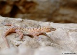 "<a href=""http://www.reptarium.cz/en/taxonomy/Hemidactylus-persicus/photogallery/33556"">Photo of <em>Hemidactylus persicus</em></a> by <a href=""http://www.reptarium.cz/en/profiles/6579"">Omid Mozaffari</a>"