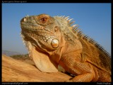 "<a href=""http://www.reptarium.cz/en/taxonomy/Iguana-iguana/photogallery/33093"">Photo of <em>Iguana iguana</em></a> by <a href=""http://www.reptarium.cz/en/profiles/5044"">Pratik Pradhan</a>"