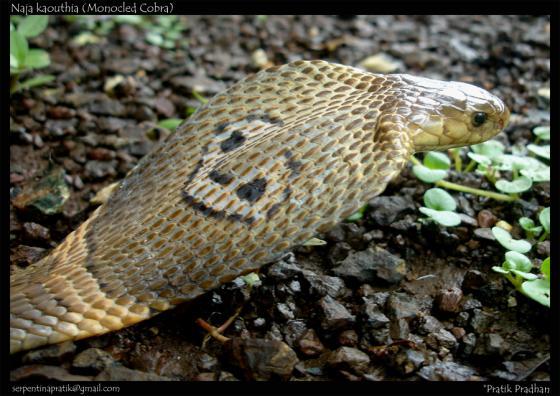 Naja kaouthia | The Reptile DatabaseNaja Kaouthia