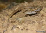 "<a href=""http://www.reptarium.cz/en/taxonomy/Ophisops-elegans/photogallery/33643"">Photo of <em>Ophisops elegans</em></a> by <a href=""http://www.reptarium.cz/en/profiles/6579"">Omid Mozaffari</a>"