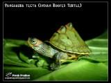 "<a href=""http://www.reptarium.cz/en/taxonomy/Pangshura-tecta/photogallery/32491"">Photo of <em>Pangshura tecta</em></a> by <a href=""http://www.reptarium.cz/en/profiles/5044"">Pratik Pradhan</a>"