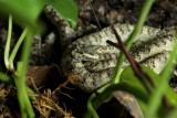 "<a href=""http://www.reptarium.cz/en/taxonomy/Protobothrops-cornutus/photogallery/26037"">Photo of <em>Protobothrops cornutus</em></a> by <a href=""http://www.reptarium.cz/en/profiles/4015"">Danila Melanin</a>"