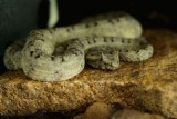 "<a href=""http://www.reptarium.cz/en/taxonomy/Protobothrops-cornutus/photogallery/26041"">Photo of <em>Protobothrops cornutus</em></a> by <a href=""http://www.reptarium.cz/en/profiles/4015"">Danila Melanin</a>"