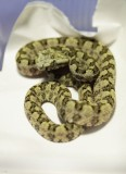 "<a href=""http://www.reptarium.cz/en/taxonomy/Protobothrops-sieversorum/photogallery/32761"">Photo of <em>Protobothrops sieversorum</em></a> by <a href=""http://www.reptarium.cz/en/profiles/4015"">Danila Melanin</a>"
