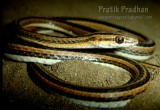 "<a href=""http://www.reptarium.cz/en/taxonomy/Psammophis-leithii/photogallery/32493"">Photo of <em>Psammophis leithii</em></a> by <a href=""http://www.reptarium.cz/en/profiles/5044"">Pratik Pradhan</a>"
