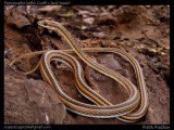 "<a href=""http://www.reptarium.cz/en/taxonomy/Psammophis-leithii/photogallery/33196"">Photo of <em>Psammophis leithii</em></a> by <a href=""http://www.reptarium.cz/en/profiles/5044"">Pratik Pradhan</a>"