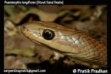 "<a href=""http://www.reptarium.cz/en/taxonomy/Psammophis-longifrons/photogallery/32647"">Photo of <em>Psammophis longifrons</em></a> by <a href=""http://www.reptarium.cz/en/profiles/5044"">Pratik Pradhan</a>"