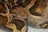 "<a href=""http://www.reptarium.cz/en/taxonomy/Python-molurus/photogallery/19228"">Photo of <em>Python molurus</em></a> by <a href=""http://www.reptarium.cz/en/profiles/2091"">Martin Domek</a>"
