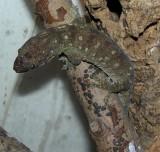 """<a href=""""http://www.reptarium.cz/en/taxonomy/Rhacodactylus-trachyrhynchus/photogallery/26126"""">Photo of <em>Rhacodactylus trachyrhynchus</em></a> by <a href=""""http://www.reptarium.cz/en/profiles/344"""">Lubomír Klátil</a>"""